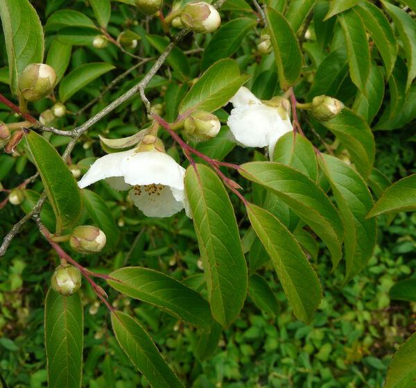 Stewartia pseudocamellia Maxim.