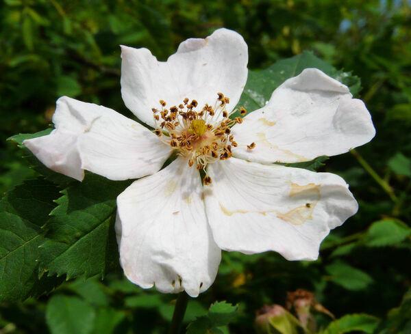 Rosa montana Chaix