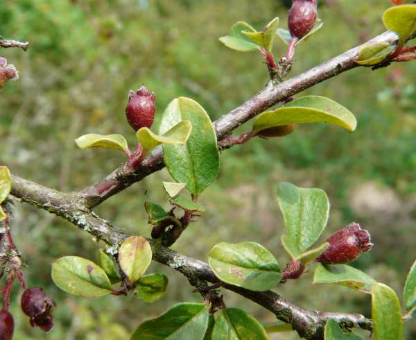 Cotoneaster nitens Rehder & E.H.Wilson