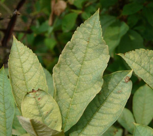 Exochorda racemosa (Lindl.) Rehder subsp. serratifolia (S. Moore) F. Y. Gao & Maesen