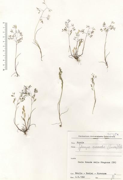 Sphenopus divaricatus (Gouan) Rchb. subsp. divaricatus