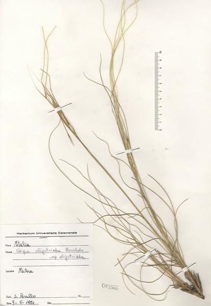Stipa oligotricha Moraldo subsp. oligotricha