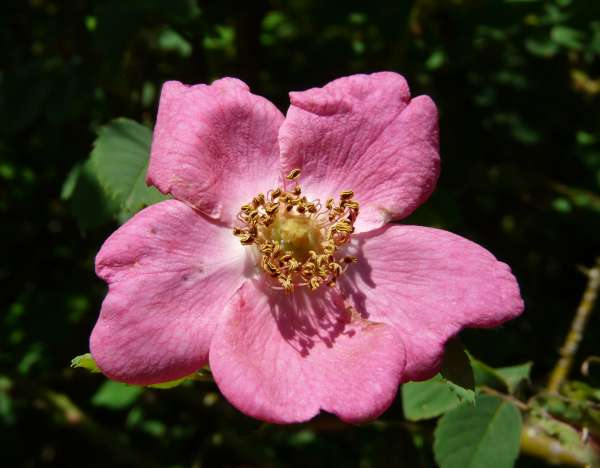 Rosa pulverulenta M.Bieb.