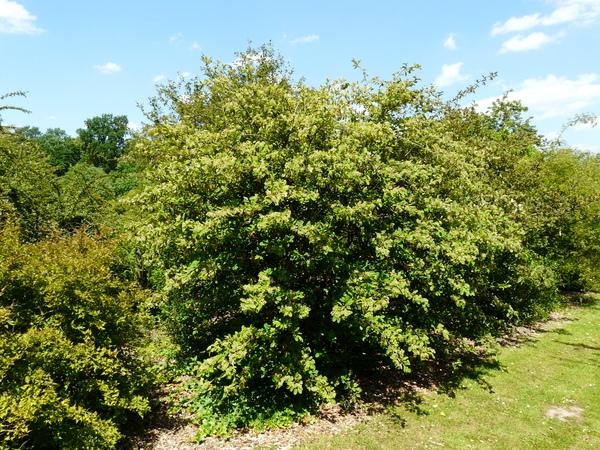 Cotoneaster harrovianus E.H. Wilson