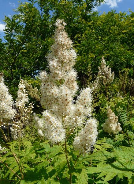 Sorbaria grandiflora (Sweet) Maxim.