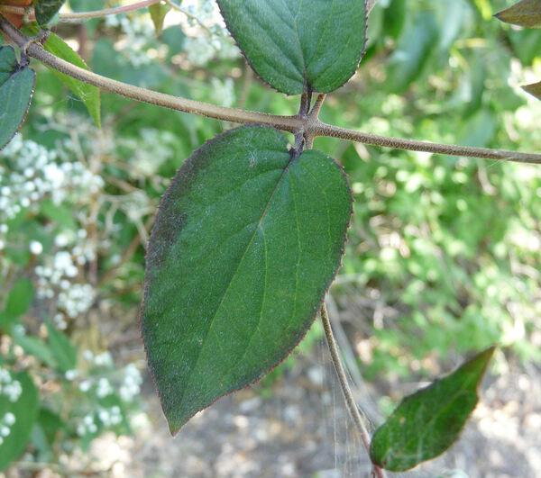 Deutzia setchuenensis Franch. var. corymbiflora (É.Lemoine ex André) Rehder