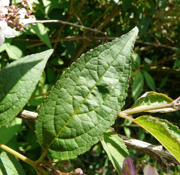 Deutzia x rosea (Lemoine) Rehder