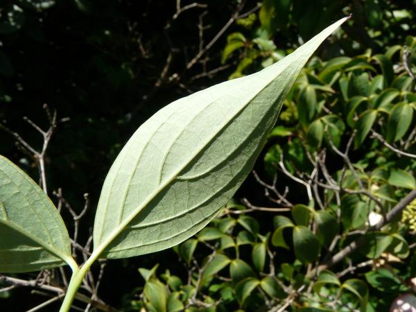 Cornus kousa (F.Buerger ex Miq.) Hance subsp. chinensis (Osborn) Q.Y.Xiang