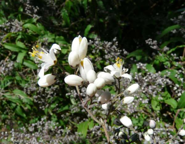Deutzia ningpoensis Rehder