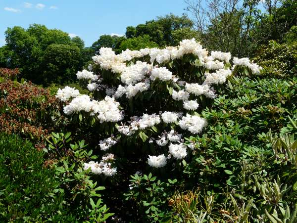 Rhododendron fortunei Lindl. subsp. discolor (Franch.) D.F. Chamb.