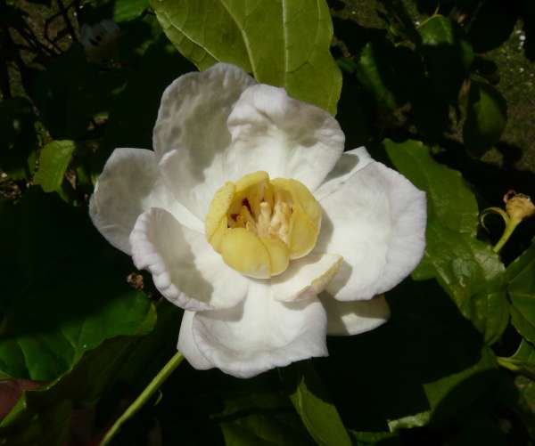 Sinocalycanthus chinensis W.C. Cheng & S.Y. Chang