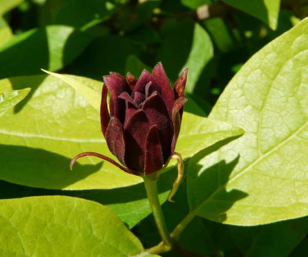 Calycanthus floridus L. 'Glaucus'
