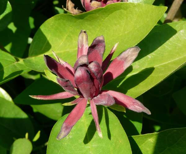 Calycanthus occidentalis Hook. & Arn.