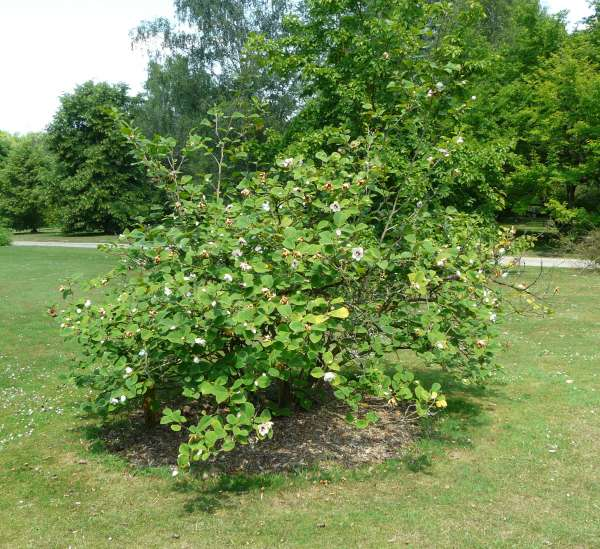 Magnolia sieboldii K. Koch