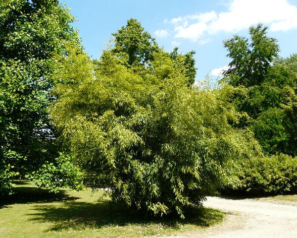Phyllostachys nigra (Lodd.) Munro 'Boryana'