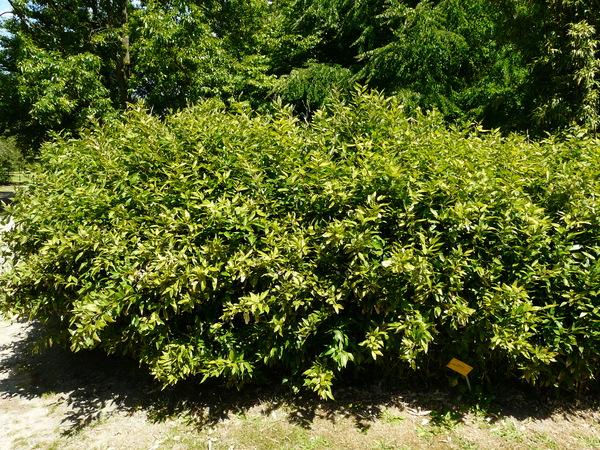Shibataea kumasasa (Steudel) Makino