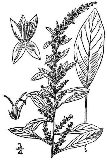 Amaranthus tuberculatus (Moq.) J.D.Sauer