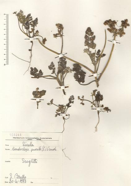 Daucus pumilus (L.) Hoffmanns. & Link