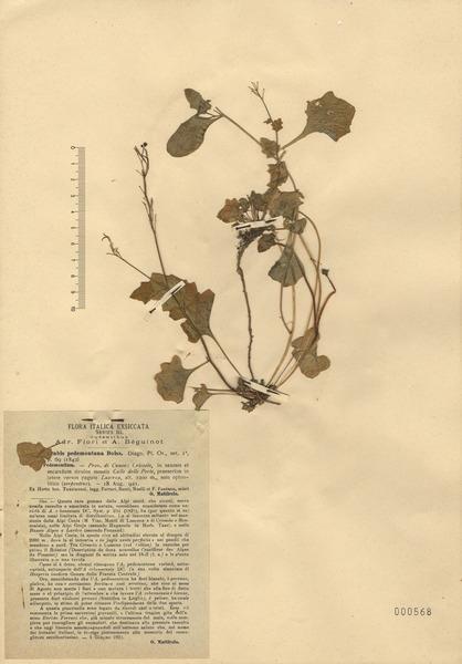 Arabidopsis pedemontana (Boiss.) O'Kane & Al-Shehbaz