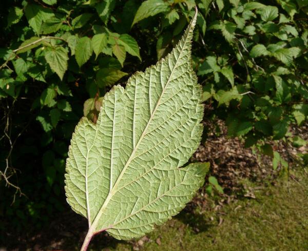 Neillia sinensis Oliv.