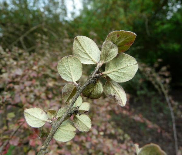 Cotoneaster distichus Lange var. tongolensis C. K. Schneid.