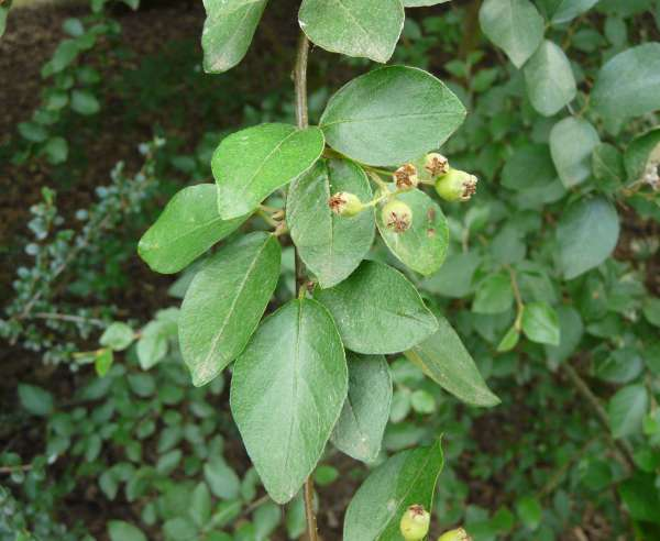 Cotoneaster hupehensis Rehder & E.H. Wilson