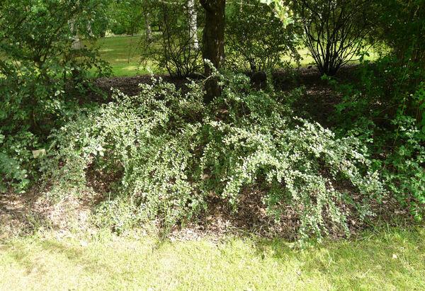 Cotoneaster distichus Lange