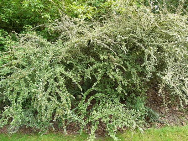 Cotoneaster splendens Flinck & B. Hylmö