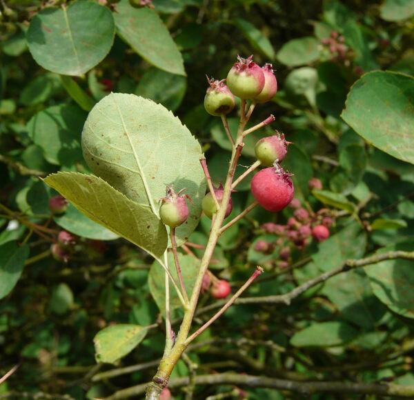 Amelanchier spicata (Lam.) K. Koch