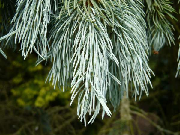 Picea glauca (Moench) Voss