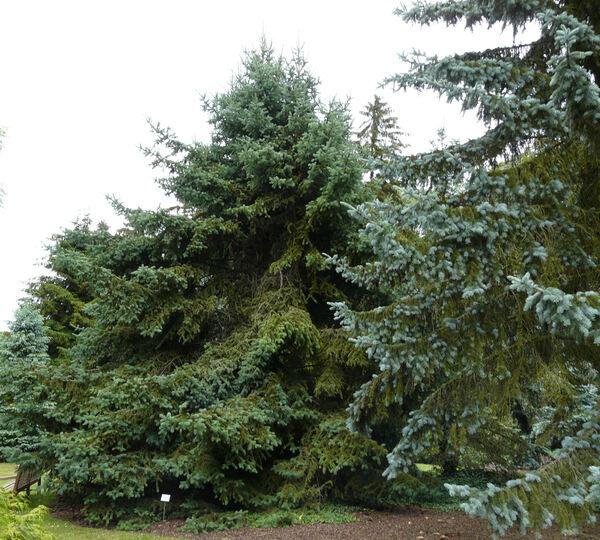 Picea meyeri Rehder & E.H. Wilson