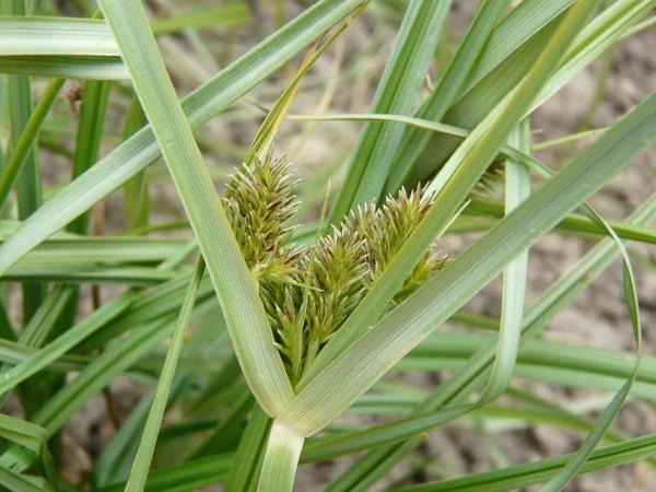 Cyperus congestus Vahl