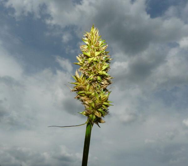 Carex vulpina L.