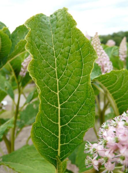 Phytolacca acinosa Roxb.