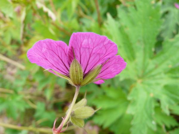 Geranium psilostemon Ledeb.