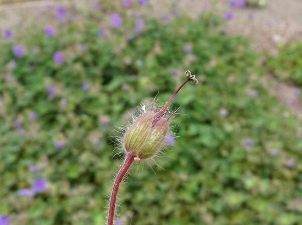 Geranium sinense R. Knuth