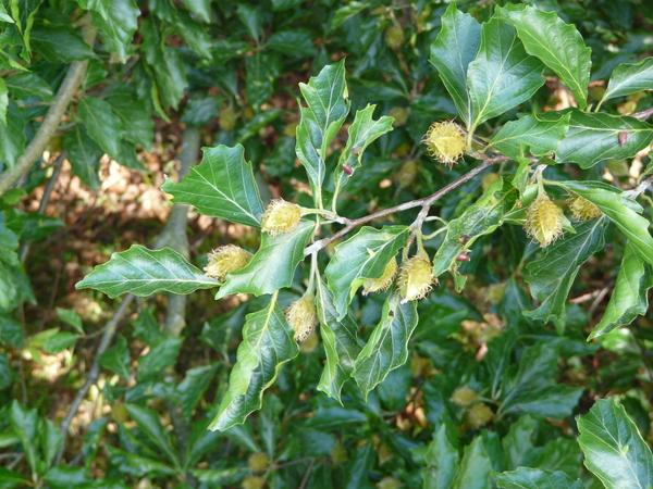 Fagus sylvatica L. 'Grandidentata'