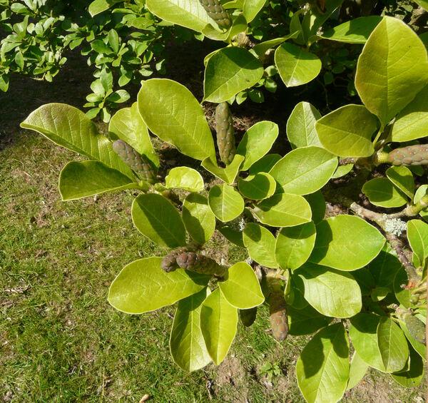 Magnolia x loebneri P. Kache 'Merril'