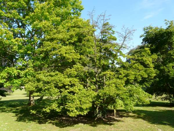 Magnolia x loebneri P. Kache 'Snowdrift'