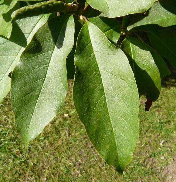 Magnolia x kewensis hort.