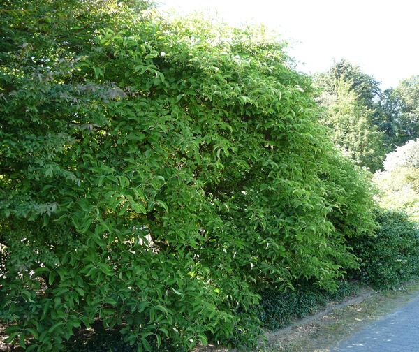 Euonymus hamiltonianus Wall. subsp. sieboldianus (Blume) H. Hara
