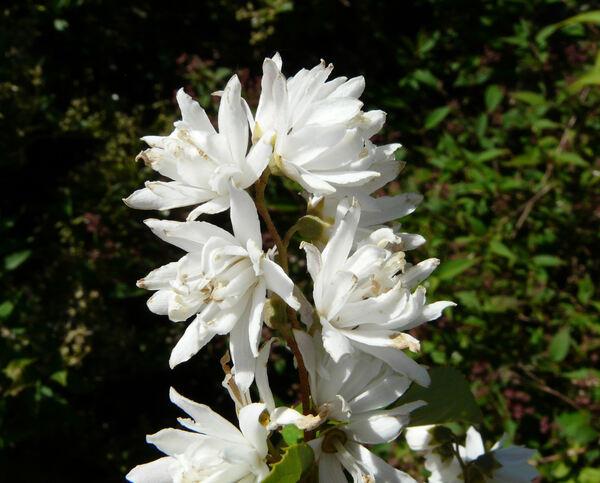 Deutzia x kalmiiflora hort.