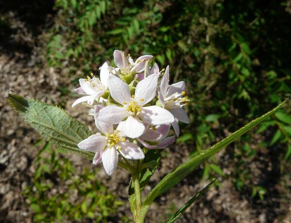Deutzia longifolia Franch. 'Veitchii'