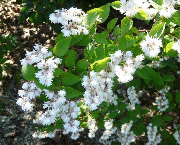 Deutzia scabra Thunb. 'Pride of Rochester'