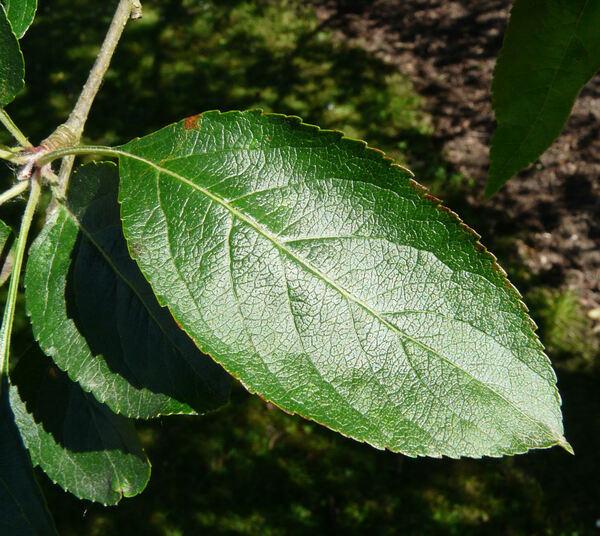 Malus toringoides (Rehder) Hughes