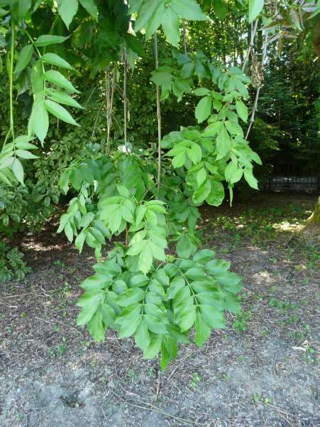 Fraxinus excelsior L. 'Pendula'