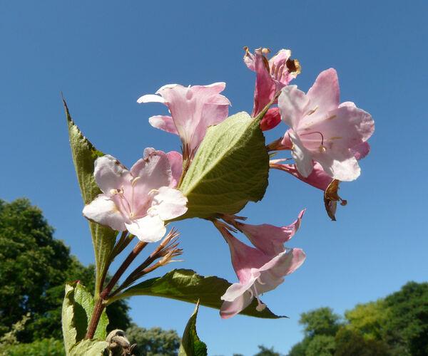 Weigela 'Buisson Fleuri'