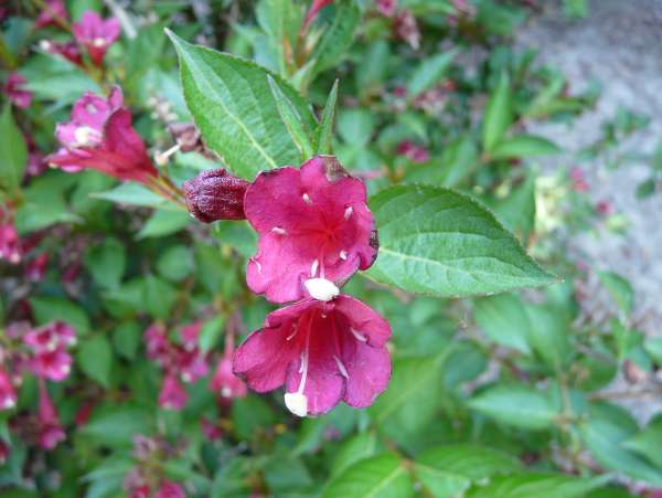 Weigela 'Saturn'