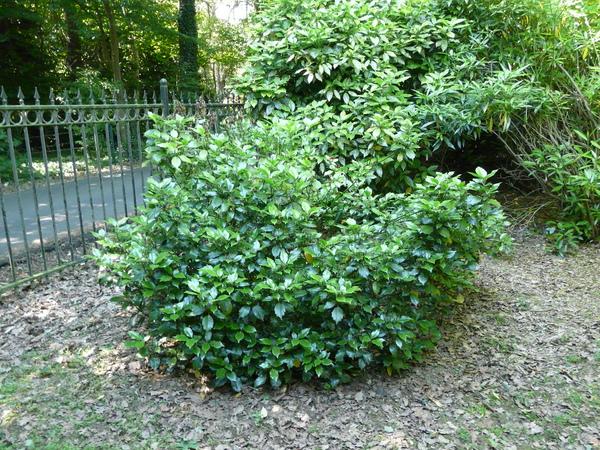 Aucuba japonica Thunb. 'Rozannie'