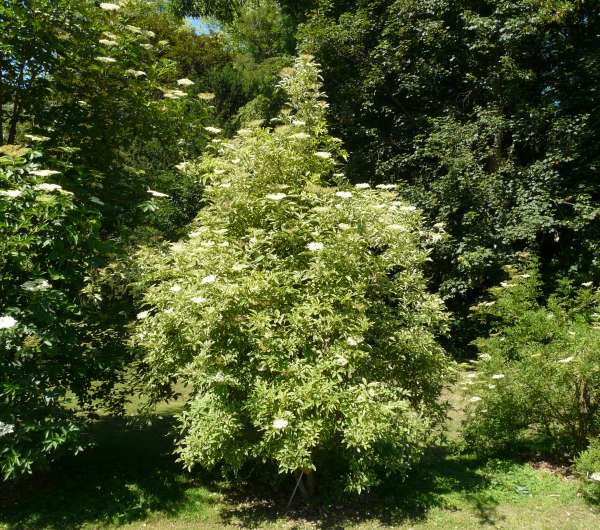 Sambucus nigra L. 'Marginata'